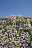 Pink Erigeron at Southwold Beach Stock Image