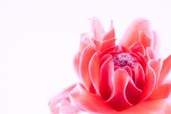 Pink Etlingera elatior Stock Photography
