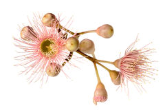 Pink Eucalyptus Flower with Buds Isolated on White Royalty Free Stock Photography