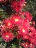 Pink eucalyptus Royalty Free Stock Photo