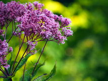 Pink Eupatorium flower blooms macro closeup. Royalty Free Stock Photography