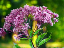Pink Eupatorium flower blooms macro closeup. Royalty Free Stock Photo