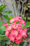 Pink euphorbia flowers Stock Photography