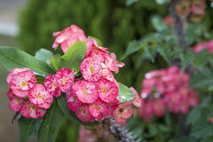 Pink euphorbia milii Crown of thorns, Christ thorn,Poi sian flow Stock Photo