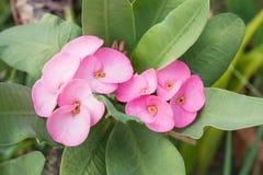 Pink euphorbia milii desmoul flower Stock Photo