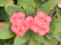 Pink euphorbia milii flower Royalty Free Stock Photography