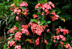 pink Euphorbia Milii flower Royalty Free Stock Image