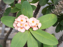 Pink Euphorbia Milii flower Royalty Free Stock Images