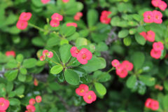 Pink euphorbia milii flowers Royalty Free Stock Photography