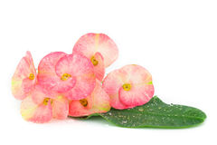Pink euphorbia milii flowers blooming,Christ thorn,Poi sian flow Royalty Free Stock Image