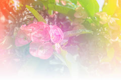 Pink euphorbia milii flowers blooming,Christ thorn,Poi sian flowers.  stock photo