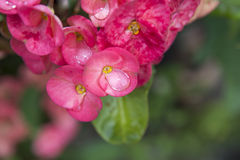 Pink euphorbia milii flowers blooming and refreshing drops of de Royalty Free Stock Photo