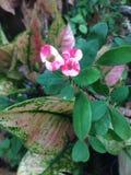 Pink euphorbia milii Stock Images