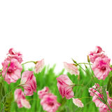 Pink eustoma flowers in grass Stock Photography