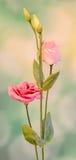 Pink Eustoma, Lisianthus flower, family Gentianaceae, , bokeh background, close up. Royalty Free Stock Photos