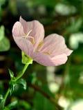 Pink evening primrose stock image