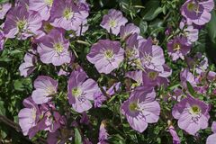 Pink Evening primrose flower or Oenothera speciosa blooming on spring meadow, closeup Stock Images
