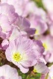 Pink Evening Primrose oenothera speciosa Royalty Free Stock Photos
