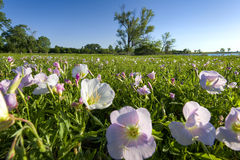 Pink Evening Primrose on a Texas Morning Stock Photo
