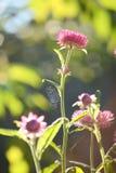 Pink Everlasting flower Stock Image