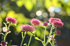 Pink Everlasting flower Royalty Free Stock Photography