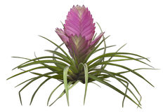 Pink exotic flower drawing Royalty Free Stock Photography