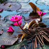Pink exotic water lilies in tropical pond Tobago square Stock Photo