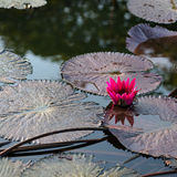 Pink exotic water lily in tropical pond Tobago square Stock Photo