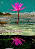 Pink exotic waterlilies Stock Photography