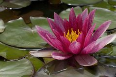 Pink exotic waterlily. Blooming in pond Stock Photo