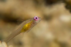 Pink eye Goby Stock Photography
