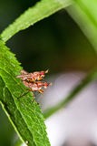 Pink-eyed flies Royalty Free Stock Photography