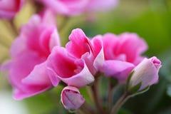 pink för 2 blommor Arkivfoto