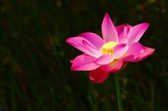 pink för 2 lotusblommar Arkivbild