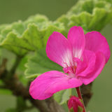 pink för 2 pelargon Arkivbild