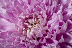 pink för blomma för bakgrundschrysanthemumclose upp white Fotografering för Bildbyråer