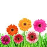 pink för blommagräsgreen royaltyfria foton