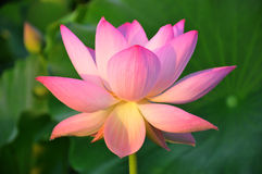 pink för blomningblommalotusblomma Arkivbild