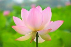 pink för blomningblommalotusblomma Fotografering för Bildbyråer