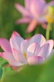 pink för blomningblommalotusblomma Royaltyfri Fotografi