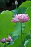 pink för blomningblommalotusblomma Royaltyfri Bild