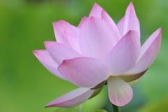 pink för blomningblommalotusblomma Royaltyfria Foton