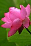 pink för blomningblommalotusblomma Arkivbilder