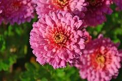pink för chrysanthemumcloseupblomma Arkivfoton