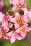 pink för droppblommakalanchoe Arkivbilder