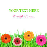 pink för färggräsgreen royaltyfria bilder