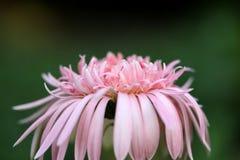 pink för kosmosblommanatur Royaltyfri Bild