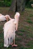 pink för lakeparkpelikan Royaltyfri Fotografi