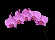 pink för phalaenopsis för bakgrundsblack en Royaltyfri Bild