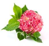 pink för vanlig hortensia för hortensia för blomningblomma ny Royaltyfri Fotografi